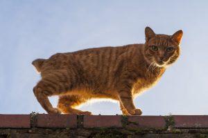 gato-manx-atigrado