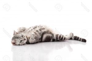 Pregnant American Shorthair cat lying on white background isolated
