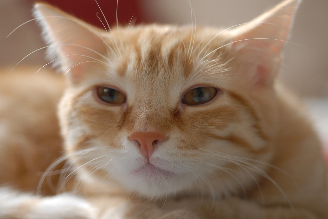 Gato comun pelo largo