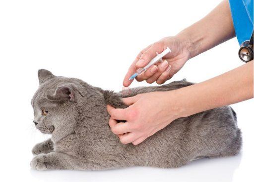 vacunación gatos