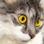 gato ojos amarillos