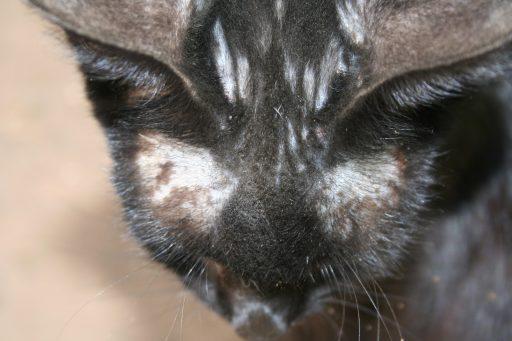 perdida de pelo en gatos