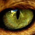 La conjuntivitis en los Gatos