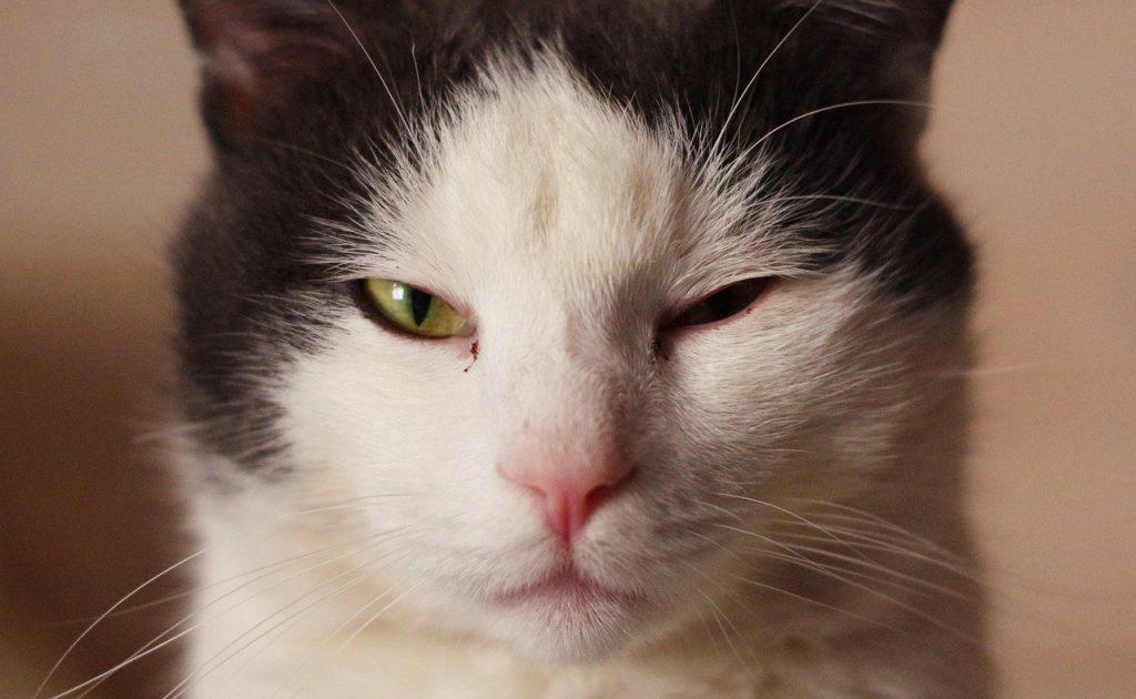 Infección ocular gato
