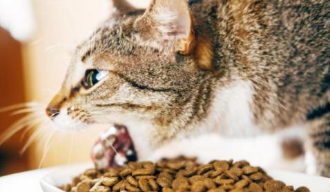 Vómitos en un gato: Causas y solución